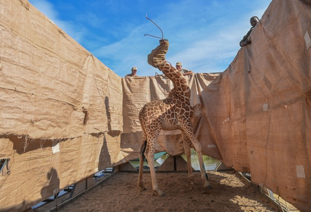 Rescue of Giraffes from Flooding Island. © Ami Vitale, United States, for CNN. NATURE - FIRST PRIZE, SINGLES. A Rothschild's giraffe (Giraffa camelopardalis rothschildi) is transported to safety in a custom-built barge from a flooded Longicharo Island, Lake Baringo, in western Kenya, on 3 December 2020. Rothschild's giraffes are a subspecies of the northern giraffe, and are classified as endangered. The giraffe is the world's tallest land mammal and the Rothschild's giraffe is one of the loftiest subspecies, growing up to six meters in height.