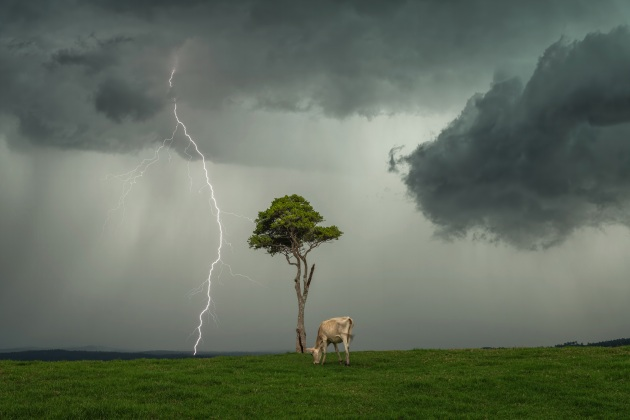 Second Place - Michael Morgan January 21st, 2020 - Maleny, Qld, Australia A stunning composition with a long tree, a grazing cow and a lightning bolt in the distance.