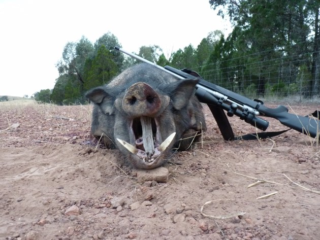 Allan Green - big hooky boar off stubble 1