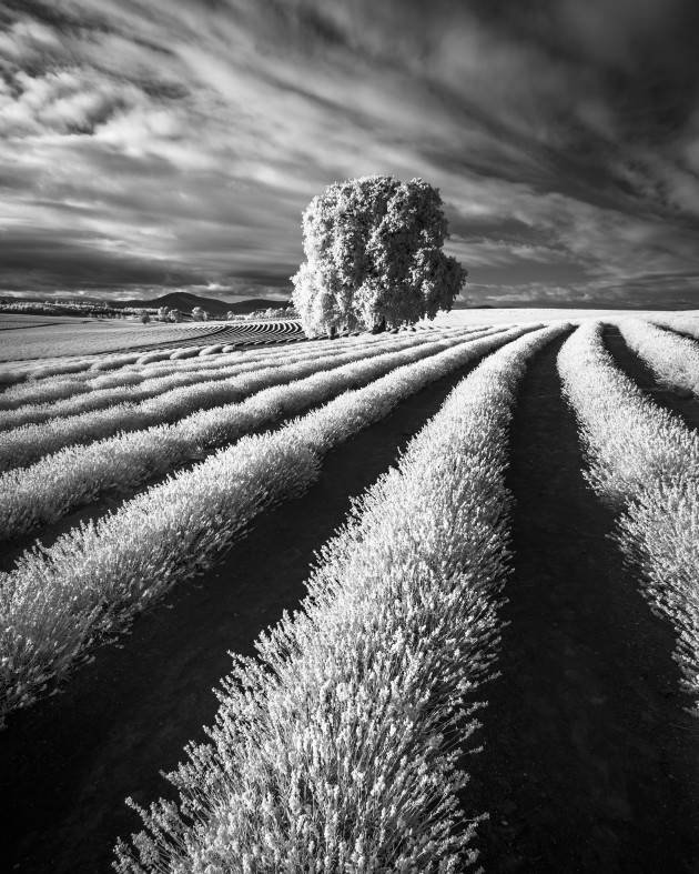 Lavender Farm, Tasmania, Australia. Seeing the Lavender Farm during peak lavender flowering was stunning in visible colour, but the scene took on a whole new look in infrared. The rows of lavender glowed bright in the sunlight and contrasted strongly against the dirt in which they were planted. Sony A7R converted to 720nm infrared, Canon EF 16-35 f/4L @ 16mm, 1/125 sec @ f8, ISO 160, handheld. Monochrome conversion and curves adjustments in Photoshop CC.