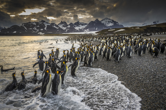 © Richard I'Anson. King penguins, Salisbury Plain, South Georgia.