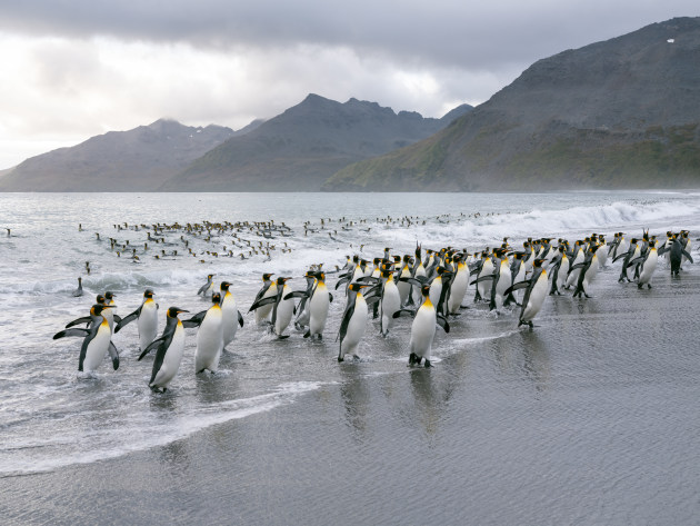 King Penguins coming ashore on the Antarctic peninsula. Although the GFX 100 is no sports camera, 5fps will allow you to still freeze the action with a moving subject. Fujifilm GFX 100, GF63mmF2.8 R WR lens. 1/400s @ f8, ISO 800.
