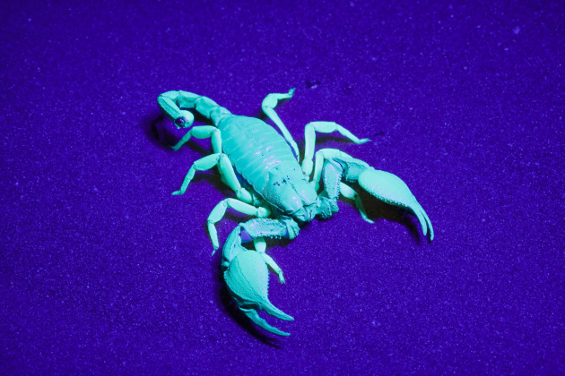 Scorpions fluoresce under UV light, offering the opportunity to capture eerie, other-worldly images. UV torches produce very low intensity light, so it's necessary to use a long exposure, a solid tripod and a very slow shutter speed to give lots of depth of field. Fortunately, the scorpion was playing dead. We only had the one chance, before it 'woke up' and started moving. Canon EOS 5D II, 100mm f/2.8 macro lens, UV torch, 30 secs, f/22, ISO 800.
