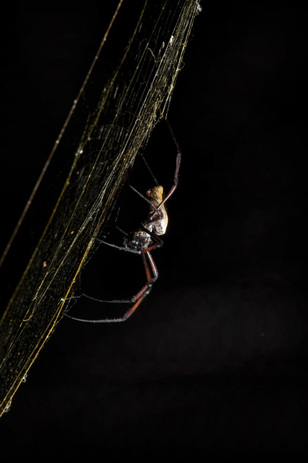 This big female spider was glued to the centre of her web, allowing us plenty of time to experiment. We tried some backlit shots, which showed off the web well, but it was the conventional front-on flash that produced our favourite image. Canon EOS 1Dx, 300mm f/4 lens, flash (-1 stop exposure compensation), 1/160 sec, f/22, ISO 800.
