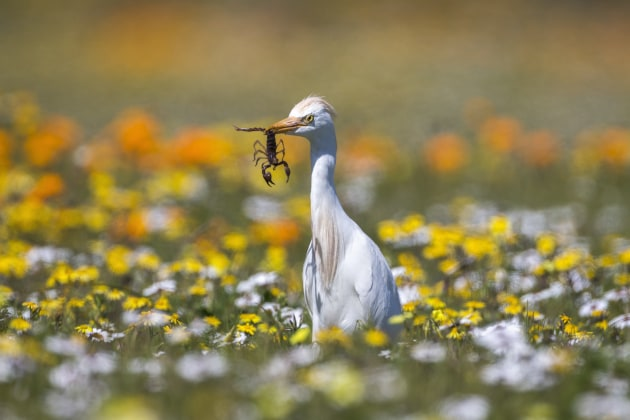A wildflower meadow and a scorpion catch add bags of extra interest to this shot of a western cattle egret. This is the shot we liked best from that morning's session. It has more eye appeal than the straight shots of the bird, even with that gorgeous flower-filled backdrop. Canon EOS-1DX, Canon EF500mm f4 lens plus 1.4x extender. 1/2000s @ f6.3, ISO 200.