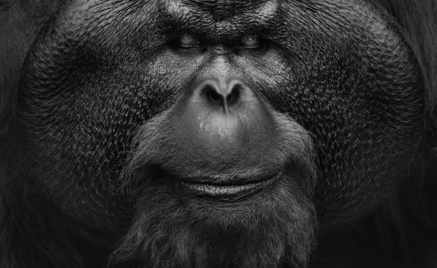 A former alpha male, Aman lived in one of the orangutan sanctuaries in Borneo. I took this photo from high above. I knew I wanted to get a close up of the structure and imposing features in his face. So I waited until he moved close to the tower and looked up at me. The editing on the image was done to increase the strength of the powerful features in his face. Nikon D810, Nikon 200-500mm f/5.6 lens  @ 500mm. 1/250s @ f5.6, ISO 2000.