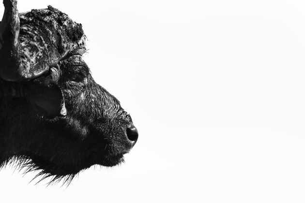 A dull, cloud covered day can help you create studio-style wildlife portraits such as this tight head study of curmudgeonly Cape buffalo. You can often heighten the impact of these shots by converting them to mono and increasing the contrast a little at the post-processing stage. Canon EOS-1DX Mk II, Canon E F100-400mm f4.5 -5.6 lens plus 1.4x extender @ 560mm. 1/1000s @ f8, ISO 400.