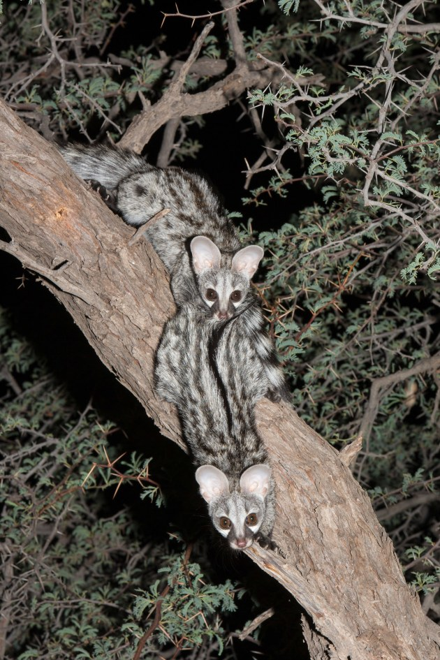These two young genets lived in the thatch of our Kalahari rondaval, and often appeared when we lit the barbie, though they always left hungry. We took a few flash shots, confident that we weren't interfering with any natural behaviour. Canon EOS 1Dx, 70-200mm f/2.8 zoom at 135mm, flash (-I stop exposure compensation), 1/200 sec, f/20, ISO 400.