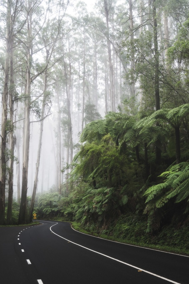 Black Spur Drive on a foggy morning