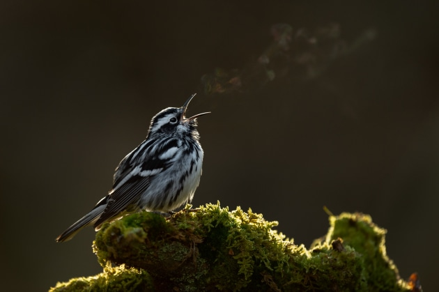Raymond Hennessy Black-and-white warbler Backlit by dawn light, the breath of this Black-and-White Warbler shows the subtle colours of the rainbow as it drifts off in the cold morning air. I noticed a small shaft of sunlight shining in the forest in an area frequented by this warbler. With an image in mind, I devoted time to my quest, in the hope the bird might land in the right spot. When it did and it sang I was so happy! Nikon D4S with Nikon 500mm f/4 lens. 500mm focal length; 1/500th second; f/4; ISO 800.