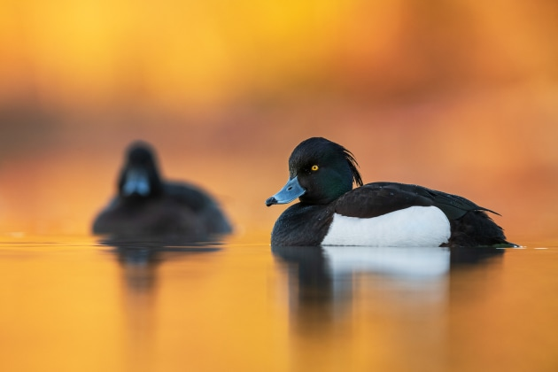 Brad James Tufted duck It's always a pleasure when you are able to capture both male and female of the same species in one image. I often find it tricky with waterfowl as they tend to overlap in some way. Consequently, I was very pleased when this scene lined up perfectly, with the drake framed and referenced by the out of focus duck in the background. To obtain this image I lay motionless on the edge of the pond, practically at water level. Nikon D850 with Nikon 500mm f/4 lens. 500mm focal length; 1/320th second; f/5.6; ISO 720.