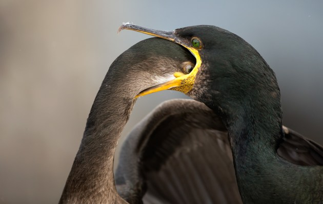 Brian Matthews European shag Is there any food left? In this image, a hungry juvenile Shag literally dives down its mother throat for more fish rather than waiting for it to be fully regurgitated. It was taken on the Farne Islands, one of the most accessible 'Puffin Islands' in the UK. A short boat trip from Seahouses in Northumberland drops you into another world of Puffins, Guillemots and ravenous Shags. Spending time with this family I managed to get some great behavioural shots. The Farne Islands aren't just about Puffins! Canon 1DX with Canon 500mm f/4 lens. 500mm focal length; 1/1,250th second; f/4; ISO 800.