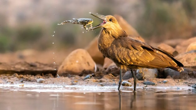 Daniel Zhang Hamerkop This photo was taken in Zimanga Private Reserve, South Africa during my summer holiday. I was on a photography trip with my father. Although the toad appeared to be jumping into the hamerkop's mouth, in reality the bird was throwing its prey into the air in order to kill it. The toad was also dabbed onto the ground several times by the bird's beak. I felt very excited to have taken this shot. Canon EOS 1DX with Canon 100-400mm f/4.5-5.6 II lens. 164mm focal length; 1/800th second; f/ 5; ISO 20,000.