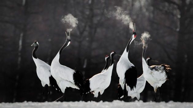 Li Ying Lou Red-crowned crane Red-crowned Crane pairs are faithful to one another throughout the year, and even during the winter months they engage in behaviour designed to strengthen the bond. Birds perform dual honking rituals and an elaborate dance, and this is much appreciated by photographers who make the pilgrimage to see them in Japan. In order to capture the mood and convey a sense of the occasion to those looking at this photograph, I rushed to the photographic site at dawn. On my eighth attempt, I finally did photographic justice to the calling birds, with their breath vaporised by the cold air. Canon 1DX Mark ll with Canon 100-400mm f/4.5-5.6 II lens and 1.4x teleconverter. 560mm focal length; 1/1,600th; f/8; ISO 1,000.