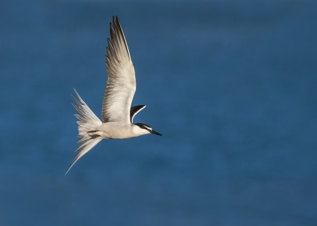 Bridled terns are one of the most beautiful birds in flight but they are also one of the hardest to capture – they move like Spitfire fighters! For this image, I positioned myself above the terns so the background would be the blue ocean. I then activated all my focus points. As the terns came into view, the camera quickly acquired focus (there being good contrast between the whites of the bird and the blue background) and I pressed the shutter. I had to apply negative exposure compensation of one to two stops to ensure I did not overexpose the white feathers. Canon EOS-1D X, EF100-400mm f/4.5-5.6L IS II USM lens @ 400mm. 1/5000s @ f7.1, ISO 800.