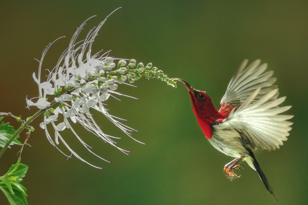 2nd Prize Winner, Mobile. Budi Gunawan, Indonesia. Refection A crimson sunbird is hovering and quenches its thirst from the flower. This picture was taken approximately 50cm from the bird using artificial light and a reflector.