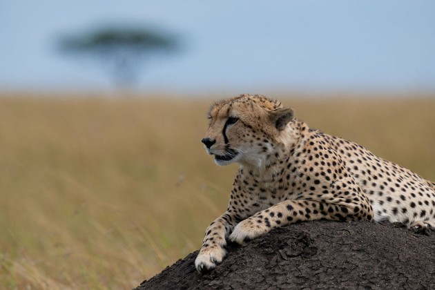 Cheetah On The Lookout - Our Kenya Photo Safari Guide was brilliant at finding wildlife at close range for us. This Cheetah sitting on a termite mound was a great example, as it surveyed the land around looking for its next meal. Asking the guide to move his vehicle a tad meant that I was able to compose the tree where I wanted it, not sticking up from behind the cheetah's head.