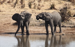Elephants in Zimbabwe's Hwange National Park (image: Martin Auldist).