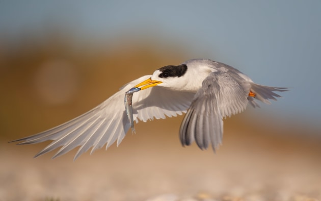 "As with most terns, these move very quickly and getting them in flight is a challenge. I set an extra high shutter speed to ensure I captured the action, as well as a larger depth of field (F8) to get more of the tern and its fish in focus. Because they are white birds in bright light, I also had to apply negative exposure compensation to ensure I did not ""overexpose"" the white feathers. It requires a lot of practice to be able to track these birds in flight so don't be dismayed if you don't succeed at first. Keep trying! Canon 1D X Mark II, EF100-400mm f/4.5-5.6L IS II USM +1.4x III (567mm). 1/4000s @ f8, ISO 400."