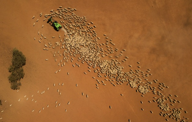 An aerial view as Garry Mooring feeds his sheep on February 21, 2019 in Louth, Australia. Local farmer and landowner Garry Mooring has lived in the region for 60 years and has a deep understanding of the land. He, along with other local farmers and community members, feel angry and disappointed with the mismanagement of the Murray-Darling River basin. Mooring believes the river is the lifeblood of the community and there is a need for federal policy change. Local communities in the Darling River area are facing drought and clean water shortages, as debate grows over the alleged mismanagement of the Murray-Darling Basin. Recent mass kills of hundreds of thousands of fish in the Darling river have raised serious questions about the way WaterNSW is managing the lakes system, and calls for a royal commission. Image: Mark Evans/Getty Images.