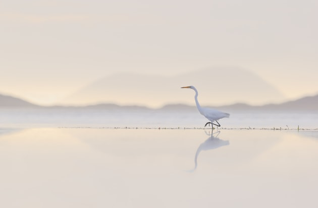Great Egret (Shoal Bay, Albany, WA). I took this image at sunrise, after spotting an egret feeding just off shore. I lay down on the sand (yes you have to get dirty!) and noticed the beautiful background hills bathed in the soft light. It was then just a matter of waiting for the bird to be in the perfect position. Canon EOS-1D X, EF600mm f/4L IS II USM lens. 1/2500s @ f7.1, ISO 500.
