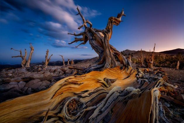 © Ken Kaminesky. Ancient and Wise. Bristlecone pine trees; the oldest trees on Earth. White Mountains, California, USA.