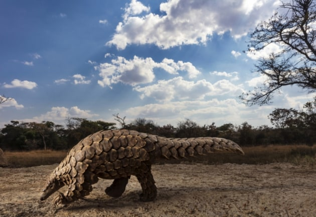 © Brent Stirton - 'Pangolins in crisis'