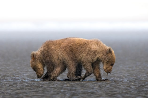 3rd Prize Winner – General - Colour. Rashed Al Sumaiti, United Arab Emirates. One Soul Opposite Direction. In the Alaskan wilderness, two bear cubs scavenge for food on a beach. In the perfect moment, they were captured heading in opposite directions but in search of the same thing.