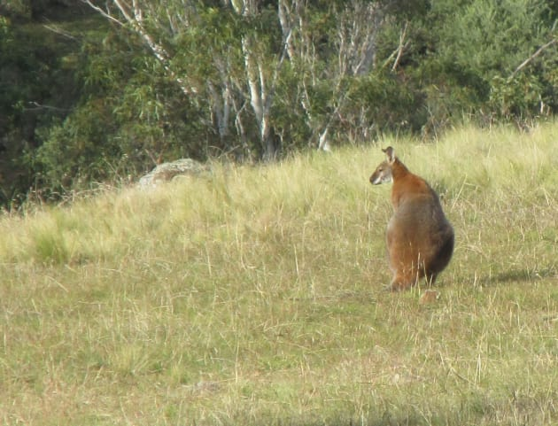 red necked wallaby(?) - Marcus