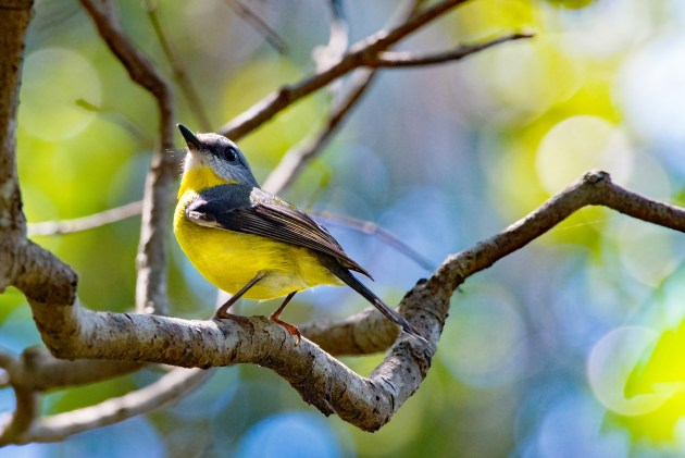 © Roger France, 'Eastern Yellow Robin'