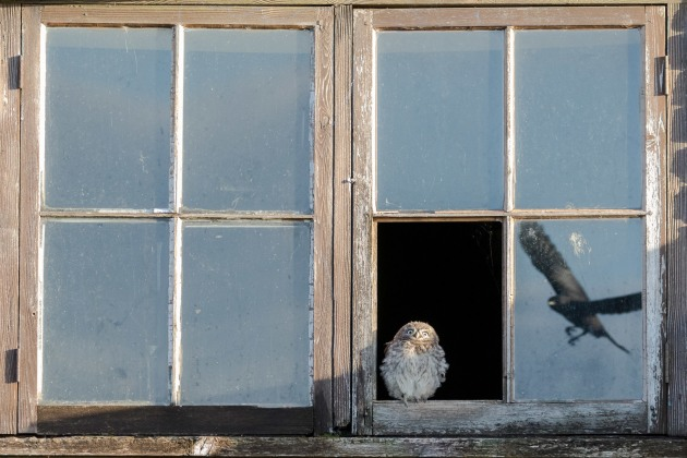 Runner-up - Wildlife category, Paul Holman, Startled Owl, UK.