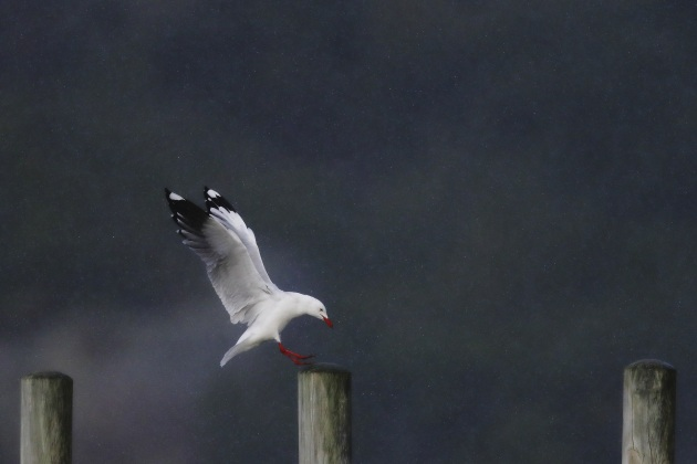 Silvergull (Albany, WA). Rain can add an ethereal quality to an image. In order to see the rain drops, you need to ensure that the bird is against a dark background. In this case, there was a hill behind the Silvergull. I used a high ISO and fast shutter speed as it was raining hard and the bird was moving. Canon EOS-1D X Mark II, EF600mm f/4L IS II USM +1.4x III lens and teleconverter. 1/5000s@ f5.6, ISO 1600.
