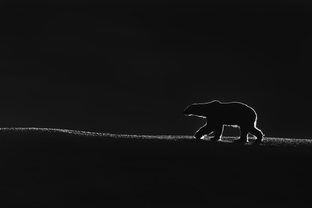 1st Prize Winner, General – Black and White. Talal Al Rabah, Kuwait. King of the North. In the northern corner of the globe, on the Norwegian Svalbard Archipelago, a polar bear was walking on an iceberg with the early morning sunlight touching him from behind creating an extraordinary silhouette.
