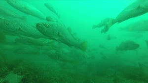NSW DPI: Action to rebuild mulloway stocks