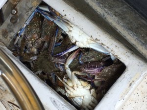 Brisbane fisher fined in under-size crab haul