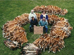 Hunters Cash In 874,000 Fox Scalps - Is It An Effective Control Method?
