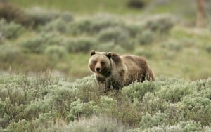 Guide Fatally Mauled by Bear