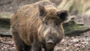 Danish Boar Semen Illegally Imported
