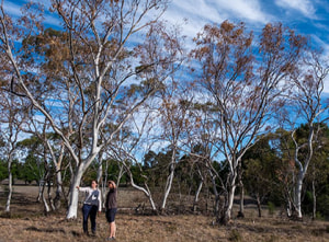 "More on Australia's ""massive eucalypt dieback problem"""