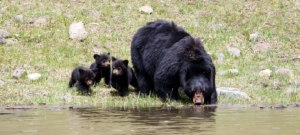 Bear Poachers Get Dealt a Heavy Hand