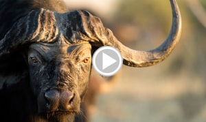 Cape Buffalo Death Charge - The Hunter was Lucky He Had Backup