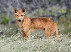 Proposed Dingo Reintroduction Sparks Fierce Opposition From Farmers