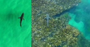 VIDEO: New tools help ID sharks from the air