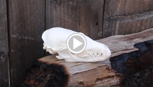Fox Scull Cleaning for Display