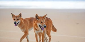 Bushwalkers told to not feed Fraser Island dingoes