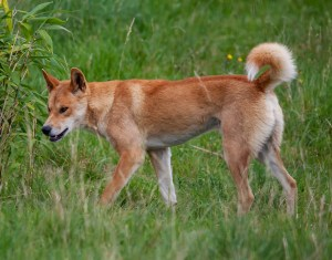"Scientists Claim Most ""Wild Dogs"" are Dingoes"