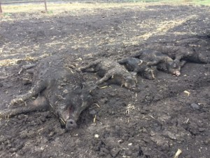 Sodium Nitrite - The New Bait To Tackle Feral Pig Populations