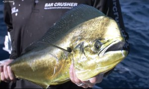 VIDEO: Mahi Mahi action on the NSW mid-north coast
