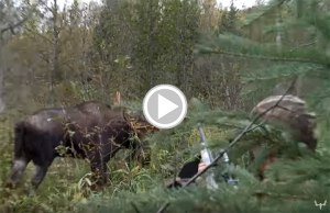 Meat Eater Steve Rinella Close Call With a Bull Moose Charge