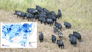 Feral Pigs Thriving On Harvest Spoils